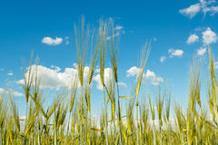 Spring grain with blue sky Royalty Free Stock Photography