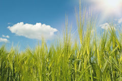 Spring grain with blue sky and sunligt Royalty Free Stock Images