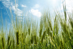 Spring grain with blue sky and sunligt Stock Image