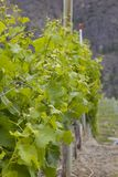 Spring grape vines with new leaf Stock Photography