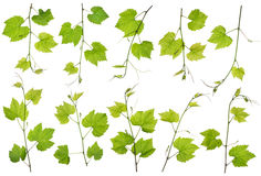Spring grapes branches isolated set Royalty Free Stock Images
