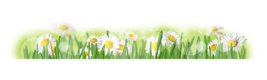Spring grass. Grass with daisies isolated on white Royalty Free Stock Photo