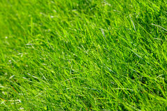 Spring grass. Spring fresh green lawn grass macro close-up Stock Images