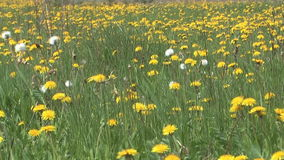 Spring grass. Background of green grass and yellow dandelions on the spring wind stock video