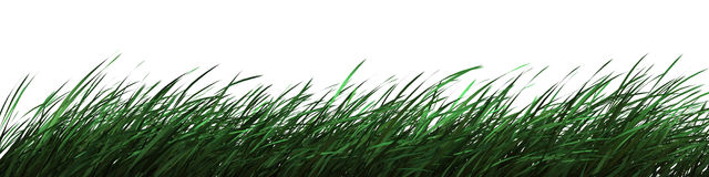Spring grass. Green and clear spring grass isolated on white Royalty Free Stock Photo