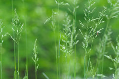 Spring grass background Royalty Free Stock Photo