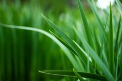 Spring grass background. Spring grass nature green background Royalty Free Stock Photos