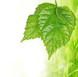 Spring grass background with three leaves Stock Images