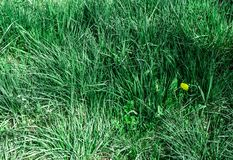 Spring grass with flowers royalty free stock photography