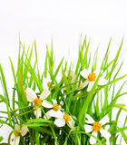 Spring grass and flowers isolated on White Royalty Free Stock Photos