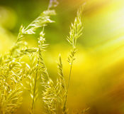 Spring grass illuminated by rays of setting sun Royalty Free Stock Photos