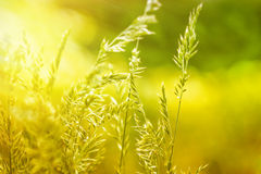 Spring grass lit by morning sun Royalty Free Stock Image