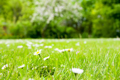 Spring Grass Meadow With Daisy Flowers Royalty Free Stock Photo