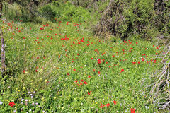 Spring grass meadow, Israel Royalty Free Stock Images