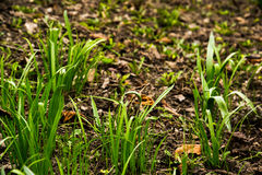 Spring grass. In the park with autumn leaves, wet earth Royalty Free Stock Photos