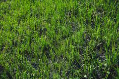 spring  grass in sun light and defocused sky on background Royalty Free Stock Photo