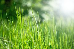 Spring grass in sun light Royalty Free Stock Photography