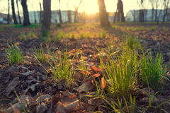 Spring grass, in the warm light of the setting sun Royalty Free Stock Photography
