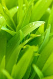 Spring grass with water drops Stock Photography