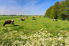 Spring grazing cows Royalty Free Stock Photos