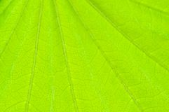 Spring green background. Young leaf. Royalty Free Stock Photo