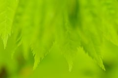 Spring green background. Young leaves. Spring green background. Young leaves of Acer shirasawanum Aureum (Shirasawa's Maple). Macro shot Royalty Free Stock Photo