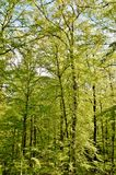 Spring green beech trees Royalty Free Stock Photography
