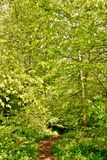Spring green beech trees Stock Photography