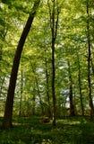 Spring green beech trees Stock Photo