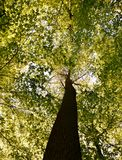 Spring green beech trees Royalty Free Stock Image