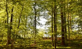 Spring green beech trees Royalty Free Stock Images