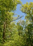 Spring green beech trees Stock Images