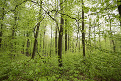 Spring green beech wood background Royalty Free Stock Images
