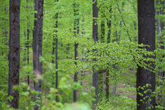 Spring green beech wood background Stock Image