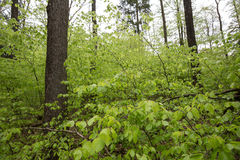 Spring green beech wood background Royalty Free Stock Photography