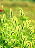 The spring green bristlegrass. Looks like the flowers and parks, green bristlegrass strong, vibrant, full of vigor and vitality Stock Image