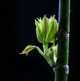 Spring green budding leaves Stock Images
