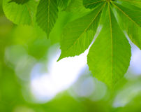 Spring Green Chestnut Leaves Over Blurred Background Stock Photo