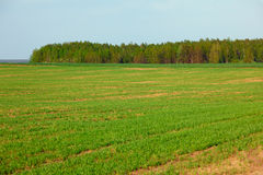 Spring green field of crops and grove Stock Photo