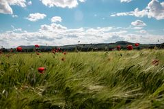 Spring green field of rye, spikes with bright red poppy flowers against the blue sky with lush white clouds. sunny day royalty free stock image