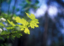 Spring. Green foliage on a spring sunny day Royalty Free Stock Image