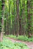 Spring green forest with footpath Stock Images