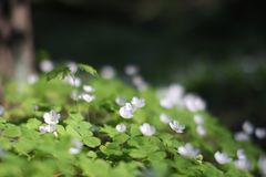 Spring green forest white blossoms like Common wood sorrel. Beauty green common wood sorrel blooming at spring forest meadow Royalty Free Stock Photos