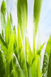 Spring green grass Royalty Free Stock Photo