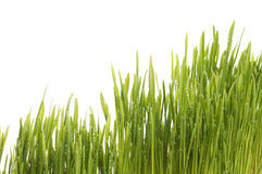 Spring green grass background. Royalty Free Stock Images