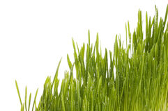 Spring green grass background. Stock Image
