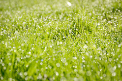Spring Green Grass. Green grass background with early morning dew Royalty Free Stock Image