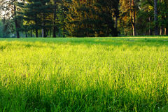Spring green grass in a clearing in the woods Stock Photos