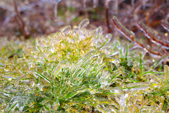 Spring green grass covered with ice Stock Photo