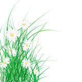 Spring green grass and daisies. On a white background Stock Image